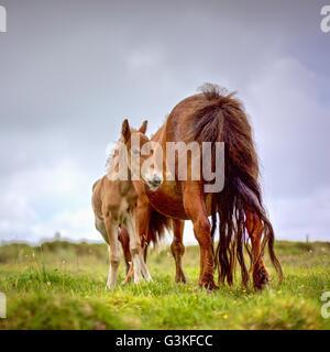 mini shetland pony stute mit fohlen auf einer wiese stockfoto bild 30555727 alamy. Black Bedroom Furniture Sets. Home Design Ideas