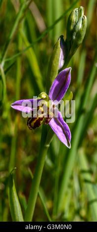 Biene Orchidee Ophrys Apifera. Wildblumen wachsen in Devon - Stockfoto