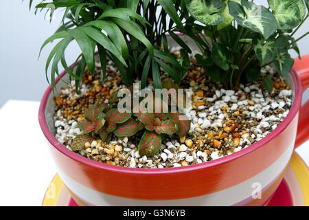 Zimmerpflanzen wachsen in Teetasse Topf - Stockfoto