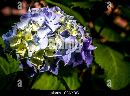 Licht lila Hortensie - Stockfoto