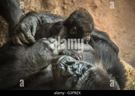 24-j hrige Westlicher Flachlandgorilla stillen seine sechs Wochen alten Baby. - Stockfoto