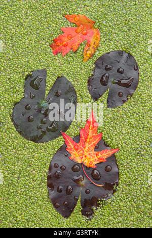 Wasser Lilien (Nymphaea Odorata), Silber-Ahorn (Acer Saccharinum) verlässt und Wasserlinsen (Lemna) am Teich E USA - Stockfoto