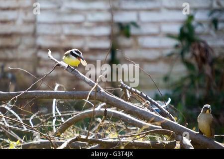 Asuncion, Paraguay. 13. Juni 2016. Eine tolle Kiskadee (Pitangus Sulphuratus) passerine Vogel nutzt Schnabel schlagen - Stockfoto
