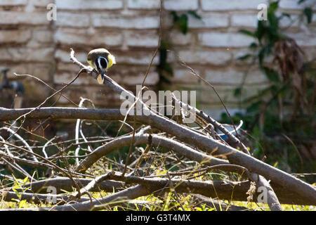 Asuncion, Paraguay. 13. Juni 2016. Ein großer Kiskadee (Pitangus Sulphuratus) passerine Vogel nutzt seinen Schnabel - Stockfoto