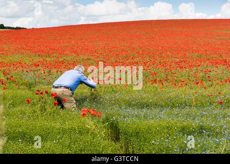 Royston, Hertfordshire, UK 15. Juni 2016. Roter Mohn Blumen blühen in einem Feld von blauen Leinsamen in der Nähe - Stockfoto