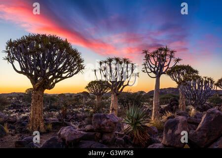 Der Köcherbaumwald (Kokerboom Woud in Afrikaans) ist ein Wald und touristische Attraktion der Süden Namibias.