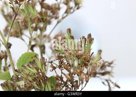 Nahaufnahme Makro von getrockneten Blumen süß Kraut Stevia Rebaudiana auf weißem Hintergrund - Stockfoto