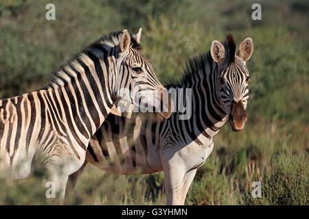 Porträt von zwei Ebenen (Burchells) Zebras (Equus Burchelli), Südafrika - Stockfoto