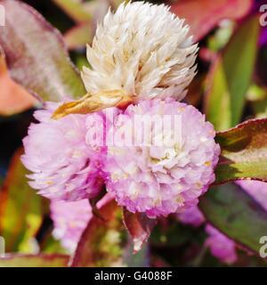 Gomphrena Globosa Globus Amaranth Blumen rosa - Stockfoto