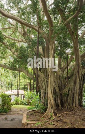 Blick auf einem Banyanbaum - Stockfoto