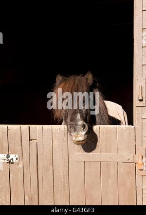 Ein zwanzig neun Jahre alte Shetland Pony-Hengst mit Blick auf eine stabile Tür - Stockfoto