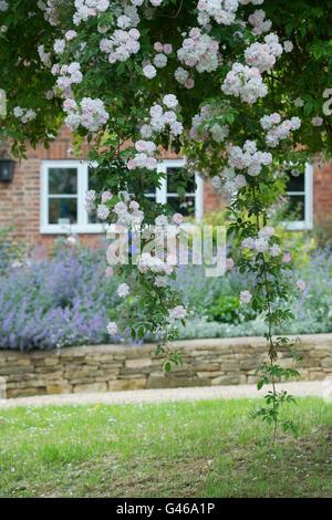 """""""Pauls Himalayan Musk"""" stieg. Rambling Rose wächst auf einem Baum in einem Cotswold Garten. Ashton unter Hill, Worcestershire, - Stockfoto"""