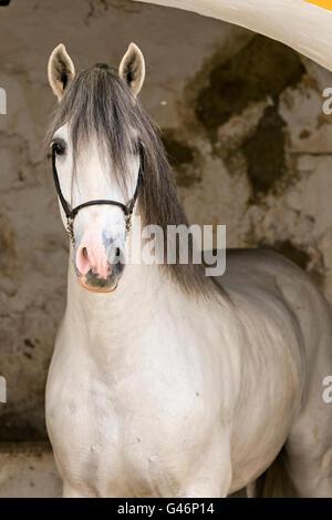 Schöne pre Hengst portrait - Stockfoto