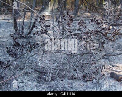 Verbrannte Bäume nach einem Wald Feuer denken Dunst wegen Waldbrand - Stockfoto