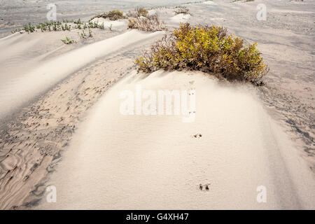 Tierspuren in Dünen auf South Padre Island, Texas, USA - Stockfoto