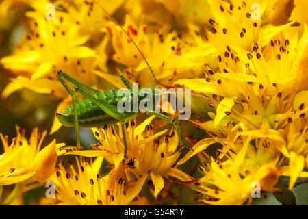 Grüne Heuschrecke auf Sedum Floriferum Weihendstephaner Gold - Stockfoto