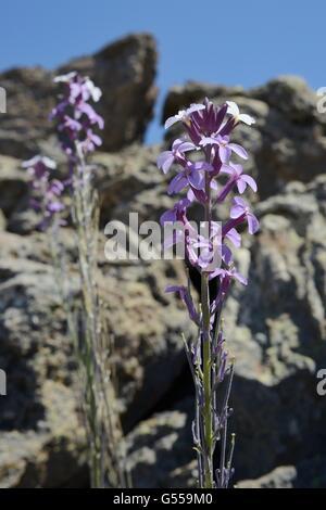 Teide Mauerblümchen (Wegrauke Scoparium), endemisch auf Teneriffa, Blüte unter vulkanischer Lava fließt, Teide-Nationalpark, - Stockfoto