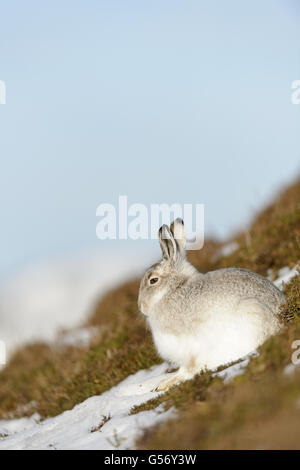 Berg Hase (Lepus Timidus) Erwachsenen, Wintermantel, sitzen auf schneebedeckten Hang, Grampian Mountains, Highlands, - Stockfoto