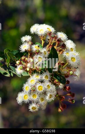 Weiß und Gelb gumtree (angophora Hispida) Blumen und Blüten sowie ...