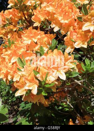 Laubabwerfende Azalee Golden Lights in Blume - Stockfoto