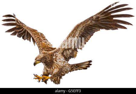 Weiß Schwanz eagle flying Hand zeichnen und Farbe auf weißem Hintergrund dargestellt. - Stockfoto