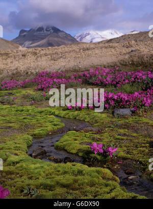 USA, Alaska, Katmai Nationalpark, Weidenröschen (Epilobium Angustifolium) Blüten in Vulkanasche in Tal von zehn - Stockfoto