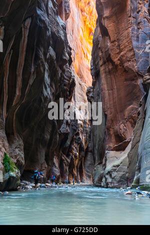Wanderer im Fluss, The Narrows, Jungfrau, steile Wände, Zion Canyon, Zion Nationalpark, Utah, USA - Stockfoto