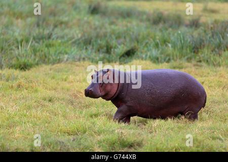 Nilpferd, (Hippopotamus Amphibius) Ngorongoro Krater, Tansania, Afrika - Stockfoto