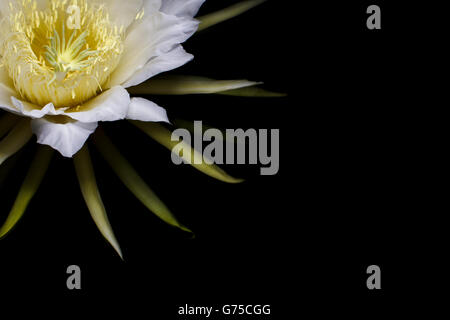 Hylocereus undatus, weiß exotische Kaktusblüte, Dragon Fruit Flower ...