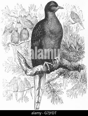 Wandertaube, wilde Taube, Ectopistes Migratorius, ausgestorben, Illustration aus Buch datiert 1904 - Stockfoto