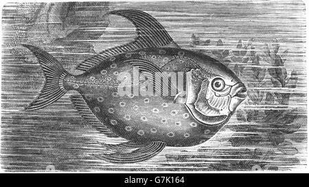 Lampris Guttatus, Opah, Cravo, Moonfish, Kingfish, Jerusalem Schellfisch, Illustration aus Buch datiert 1904