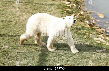 Eisbär kommt in Yorkshire Wildlife Park - Stockfoto