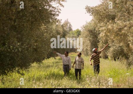 Landwirte zu inspizieren ein Olivenhains in Ourika, Marokko. - Stockfoto