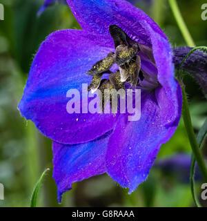 Rittersporn Blüte Nahaufnahme zeigt Anthere und Staubblätter - Stockfoto