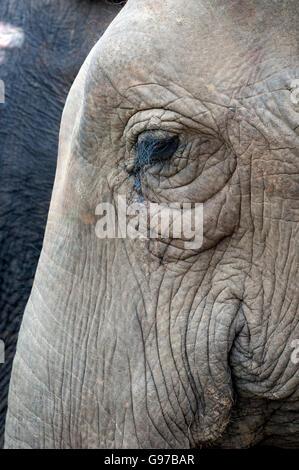 Close-up Portrait eines asiatischen Elefanten - Stockfoto