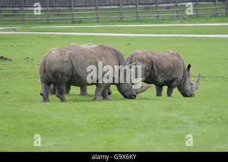 Drei grau Nashörner grasen im Woburn Safari Park in der Nähe von London, UK - Stockfoto