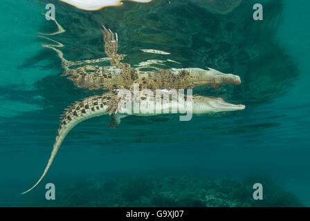 Salzwasser-Krokodil (Crocodylus Porosus) an der Oberfläche schwimmen. Norman River, Normanton, Queensland, Australien. - Stockfoto