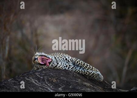Leopard (Panthera Pardus) männlich Gähnen liegend auf einem Felsen. Mehr Kruger National Park, Südafrika, Juli. - Stockfoto