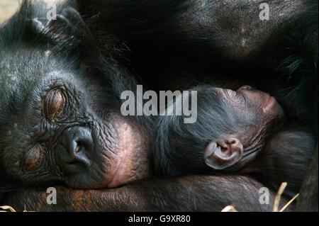 Bonobo (Pan paniscus) Mutter mit ihrem neugeborenen Baby, Lola Ya Bonobo Heiligtum, die Republik Kongo. - Stockfoto