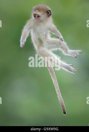 Vervet Affe (Chlorocebus Pygerythrus) Baby springen zwischen Zweigen, fotografiert Luft. Okavango Delta Botswana. - Stockfoto