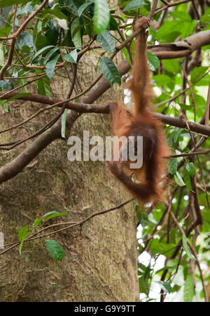 Sumatra Orang-Utan (Pongo Abelii) in die Regenwälder von Sumatra, Indonesien, Asien - Stockfoto