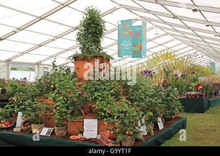 """Goldmedaillen-Gewinner: T3 Pflanzen - Wand Ende Kindergarten """"Abutilons"""". Floral Festzelt. RHS Hampton Court Palace - Stockfoto"""