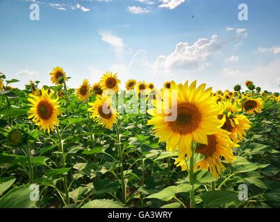 Große Wiese mit Sonnenblumen. Zusammensetzung der Natur. - Stockfoto