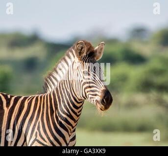 Porträt einer Burchell-Zebras im südlichen afrikanischen Savanne - Stockfoto