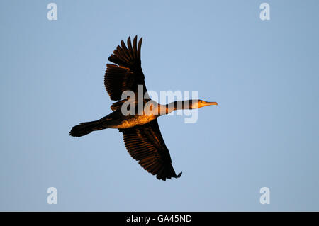 Kormoran, Duisburg-Walsum, Deutschland / (Phalacrocorax Carbo) - Stockfoto