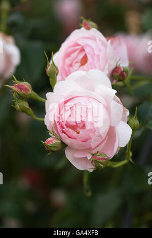 strauchrose im bauerngarten mit geranien im vordergrund stockfoto bild 26096984 alamy. Black Bedroom Furniture Sets. Home Design Ideas