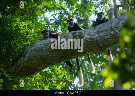 Guereza-Colobus-Affen (Colobus Guereza) im Baum, Lango Bai, Republik Kongo (Kongo-Brazzaville), Afrika. - Stockfoto