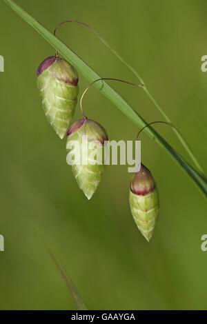 Größere Beben Grass (Briza Maxima) Blüten, Giens, Var, Provence, Frankreich, Mai. - Stockfoto