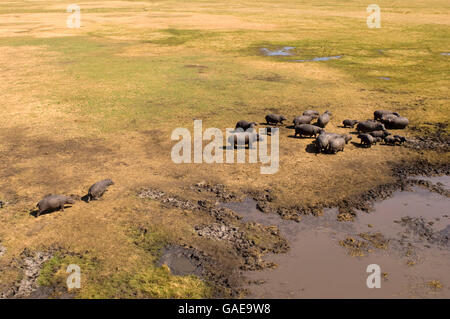 Flusspferd (Hippopotamus Amphibius), Gruppe, Luftaufnahme, Busanga Plains, Kafue Nationalpark, Sambia, Afrika - Stockfoto