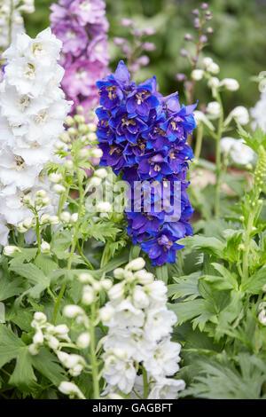 Blumen blau-weißen Rittersporn, Delphinium elatum - Stockfoto